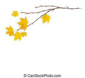 Autumn maple twigs with yellow leaves