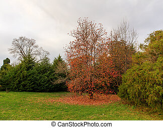 autumn maple with red leaves