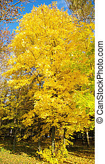 Autumn maple with yellow leaves on a sunny blue sky background