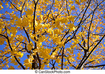 Autumn maple with yellow leaves