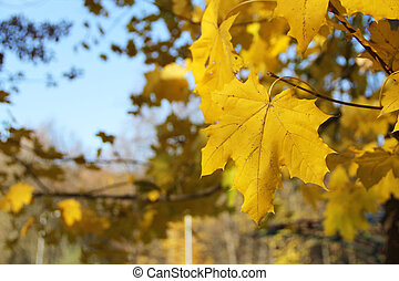 Autumn maple yellow leaves. Background