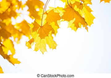 Autumn maple yellow leaves over sun and sky
