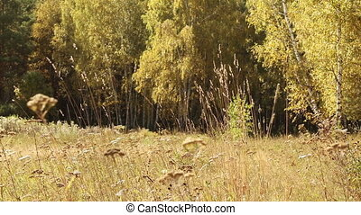 Autumn meadow in front of Birch Grove. Birch forest in...
