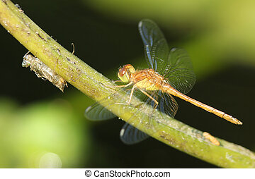 Autumn Meadowhawk and Exoskeleton - Immature Male Autumn...