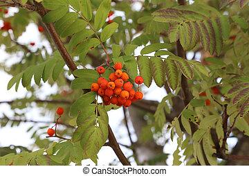 Autumn motive. Ripe mountain ash on branches.