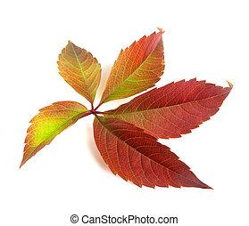 Autumn multicolor grapes leaf (Parthenocissus quinquefolia...