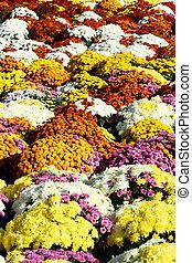Autumn mum flowers - Colorful autumn mum flowers in pots