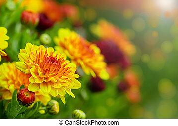 Autumn Mums or Chrysanthemums in bloom