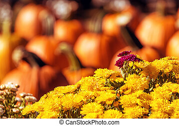 Autumn Mums or Chrysanthemums with pumpkin background