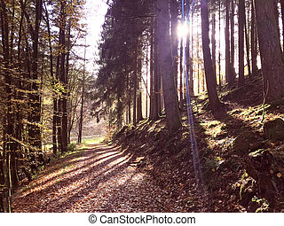 Autumn natural fir forest in Rheinland Pfalz - Autumn...