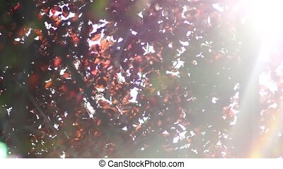 Autumn nature, red leaves shimmer in the sun