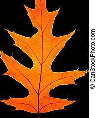 Autumn oak leaf - Close-up of autumn oak leaf on black...