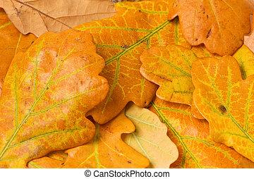 autumn oak leaves background