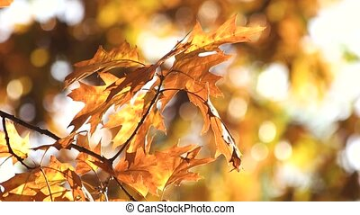 Autumn oak leaves. Close up. Autumn forest background.