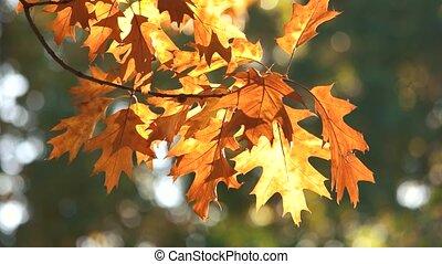 Autumn oak leaves, close up. Waving oat tree branch.