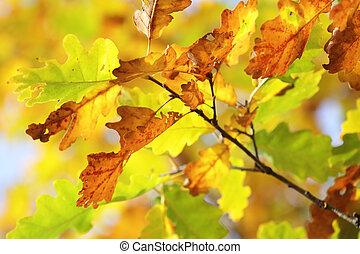 Autumn oak leaves in sunshine light