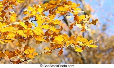 Autumn oak leaves in the wind