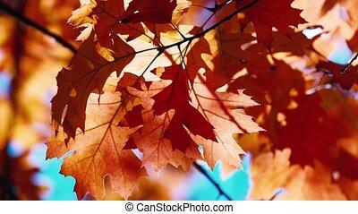 Autumn oak leaves swaying in the wind