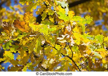 Autumn oak tree leaves