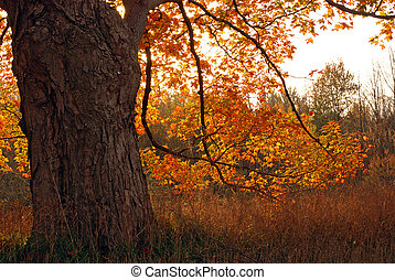 autumn oak tree - Old glowing oak tree in the morning sun at...