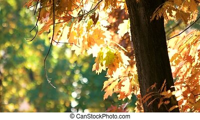 Autumn oak tree with orange leaves. Forest background.