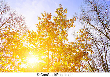 Autumn Oak Tree with Yellow Leaves
