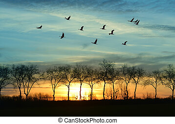 Autumn or spring migration of cranes