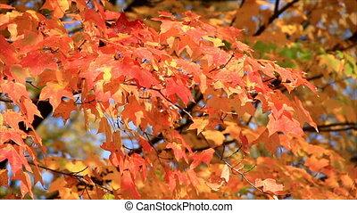 Autumn Orange Maple Leaves HD Loop
