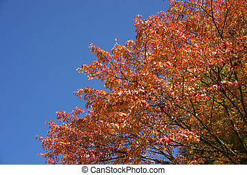 Autumn orange maple tree