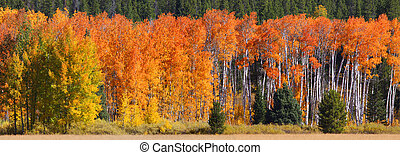 Autumn panorama - autumn trees panoramic view in Yellowstone...