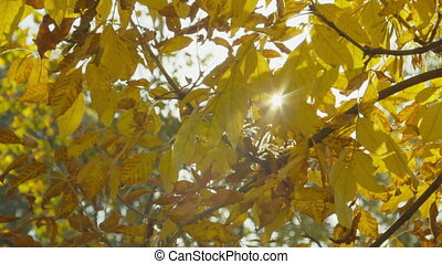 Autumn park at sunny day. Colorful ash leaves against sun. Fall colors. Blue sky. Handheld shot with natural movement.