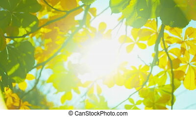 Autumn park at sunny day. Colorful chestnut leaves against sun. Fall colors. Blue sky. Handheld shot with natural movement.