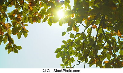Autumn park at sunny day. Colorful oak leaves against sun. Fall colors. Blue sky. Handheld shot with natural movement.
