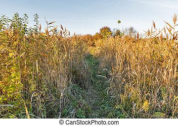 Autumn path in the reed at sunset, Ukraine.