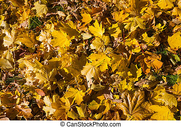 Autumn pattern of yellow leaves on the ground. Leaf fall in the