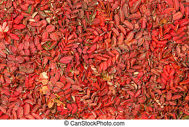 Autumn pattern with vivid red leaves of wild rose