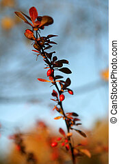 Autumn picture of Japanese Barberry - Berberis Thunbergii