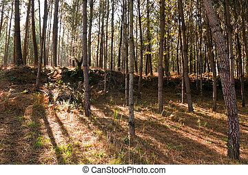Autumn Pine Forest - Portugal