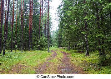 Autumn pinewood