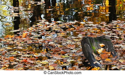 Autumn pond covered with leaves