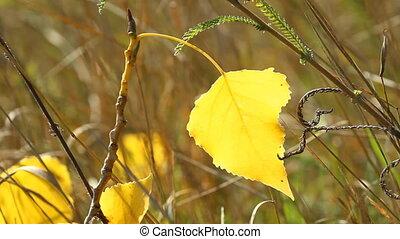 Autumn poplar leaf