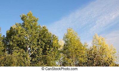 autumn poplar trees in wind under blue sky