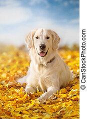 Autumn portrait of golden retriever junior lying in yellow...