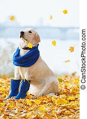 Autumn portrait of golden retriever junior wearing scarf and...