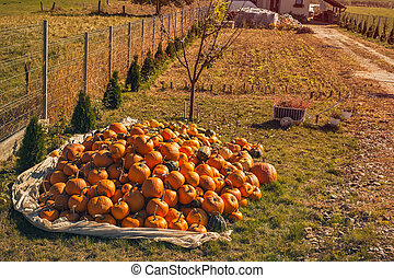 autumn pumpkins in the country yard