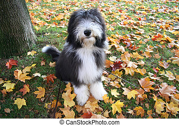 A bearded collie puppy, 4 months old, sitting among the beautiful colored autumnleaves