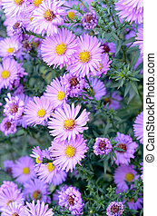 autumn purple flowers Aster shrub