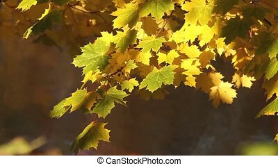 Autumn rays of sun illuminates yellow maple leaves
