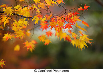 autumn red and yellow maple leaves