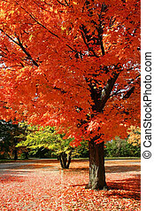 Autumn Red - autumn red - brilliant red leaves fill the...